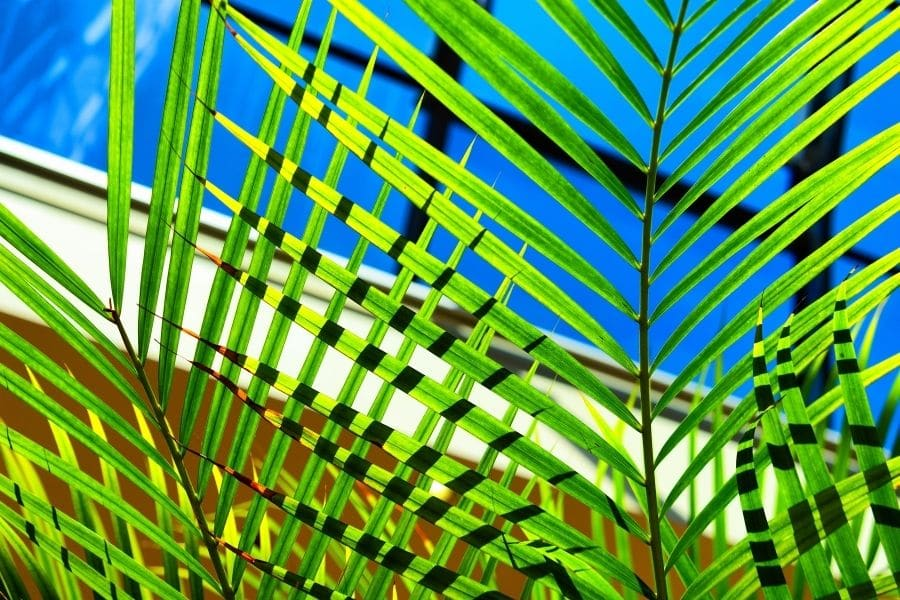 indoor palm tree care