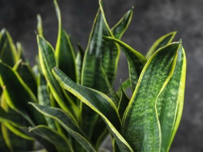 6 Benefits of a Snake Plant – The Best Plant You Can Get for Your House